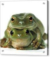 Mating Frogs Acrylic Print by Darwin Wiggett
