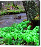 May-apples And Middle Fork Of Williams River Acrylic Print by Thomas R Fletcher