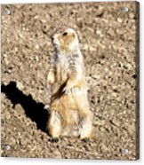 Mean Old Prairie Dog Acrylic Print by Christopher Wood