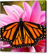 Monarch And Dahlia Acrylic Print by Steve Augustin