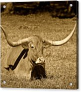 Monochrome Longhorn Cow Rsting In Grass Acrylic Print by M K  Miller