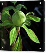 Monstrous Plant Bud Acrylic Print by Douglas Barnett