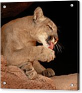 Mountain Lion In Cave Licking Paw Acrylic Print by Max Allen