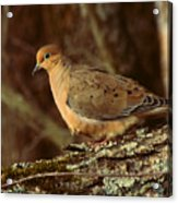 Mourning Dove At Dusk Acrylic Print by Amy Tyler