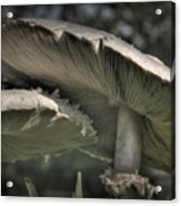 Mushrooms Acrylic Print by Fred Lassmann