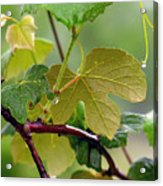 My Grapvine Acrylic Print by Robert Meanor