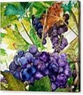 Napa Harvest Acrylic Print by Lance Gebhardt