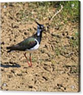 Northern Lapwing Acrylic Print by Louise Heusinkveld