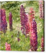 Nova Scotia Lupine Flowers Acrylic Print by Jeff Kolker