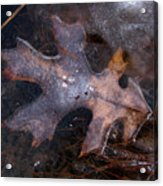 Oak Preservation Acrylic Print by Adam Long