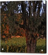 Oak Tree And Vineyards In Knight's Valley Acrylic Print by Charlene Mitchell