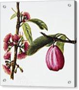 Ohiaai Acrylic Print by Hawaiian Legacy Archive - Printscapes