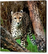 On The Prowl Acrylic Print by Heather Thorning