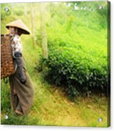 One Day In Tea Plantation  Acrylic Print by Charuhas Images