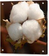 Open Cotton Boll Acrylic Print by Douglas Barnett