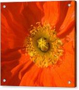 Orange Poppy Flower Acrylic Print by Julia Hiebaum