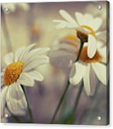 Oxeye Daisy Flowers Acrylic Print by Haakon Nygård