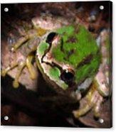 Pacific Tree Frog Acrylic Print by Nick Gustafson