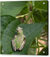 Pacific Tree Frog Acrylic Print by Shannon Gresham