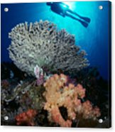 Palau, Diving Acrylic Print by Dave Fleetham - Printscapes