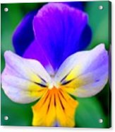 Pansy Acrylic Print by Kathleen Struckle