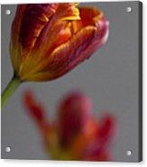 Parrot Tulips 17 Acrylic Print by Robert Ullmann