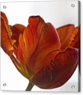 Parrot Tulips 20 Acrylic Print by Robert Ullmann