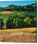 Paso Robles Vineyard Acrylic Print by Steven Ainsworth