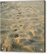 Paw Prints In The Sand Acrylic Print by Roberto Westbrook