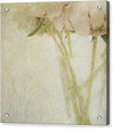 Peonies Acrylic Print by Marion Galt