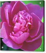 Peony In Pink Acrylic Print by Kathy Yates