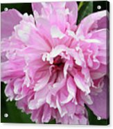 Peony Perfection Acrylic Print by Angelina Vick