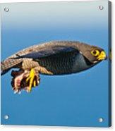 Peregrine Falcon 2 Acrylic Print by Michael  Nau