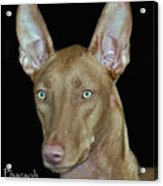 Pharaoh Hound Acrylic Print by Larry Linton