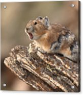 Pika Barking From Rocktop Perch Acrylic Print by Max Allen
