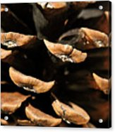 Pinecone Acrylic Print by The Forests Edge Photography - Diane Sandoval