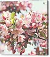 Pink Apple Blossoms Acrylic Print by Sandra Cunningham