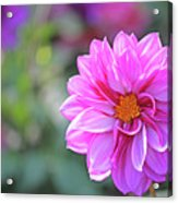 Pink Beauty Acrylic Print by Becky Lodes