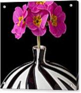 Pink English Primrose Acrylic Print by Garry Gay
