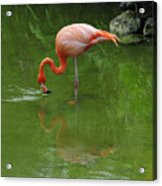 Pink Flamingo Acrylic Print by Cindy Lee Longhini