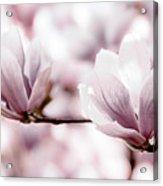 Pink Magnolia Acrylic Print by Elena Elisseeva