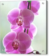 Pink Orchids Acrylic Print by Kicka Witte - Printscapes