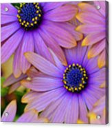Pink Petals And Blue Buttons Acrylic Print by Julie Palencia