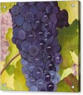 Pinot Noir Ready For Harvest Acrylic Print by Mike Robles