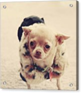 Please Meet Zoe Acrylic Print by Laurie Search