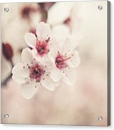 Plum Blossoms Acrylic Print by Lisa Russo