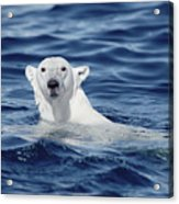 Polar Bear Swimming Baffin Island Canada Acrylic Print by Flip Nicklin