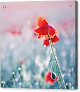 Poppy Field In Flower With Morning Dew Drops Acrylic Print by Sophie Goldsworthy