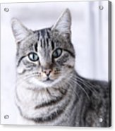 Portrait Gray Tabby Cat Acrylic Print by Maika 777
