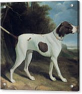 Portrait Of A Liver And White Pointer Acrylic Print by George Garrard